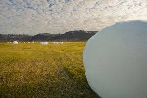 Hay is harvested into these pillows in Iceland