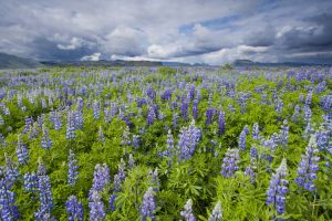 Iceland covered in Nootka Lupine