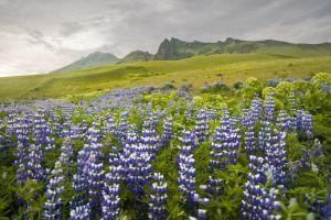 Lupine hillside near Vik, Iceland