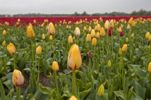 A field of tulips in the Netherlands