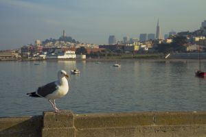 San Francisco Seagull