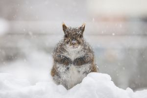 A squirrel in the snow