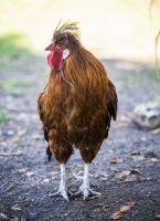 Stink Eye Chicken