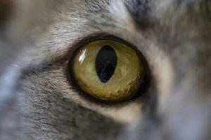 The eyeball of a cat