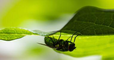 A fly hiding under a leaf
