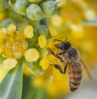 A Bee pollinating