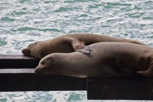 Spooning Sea Lions
