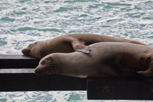 Spooning Sea Lions