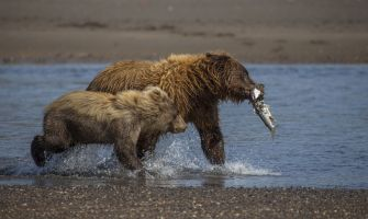 A mother bear with salmon with an offspring