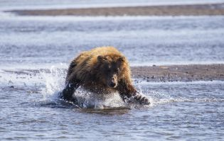 A bear pouncing on salmon