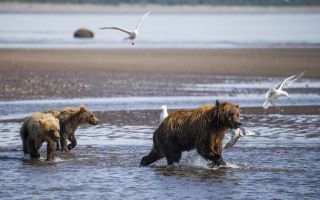 A mother bear fending off gulls from her salmon catch while kids follow.
