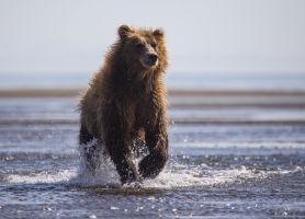 Charging Bear