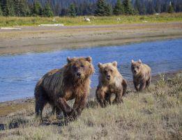 Approaching Bears