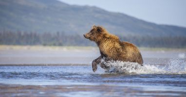 Bear running after salmon