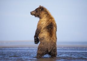A standing bear giving the side look