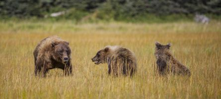 Bears in the Grass