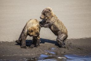 Wrestling Kid Bears