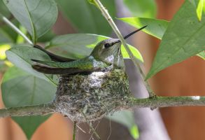 Newly built hummingbird nest