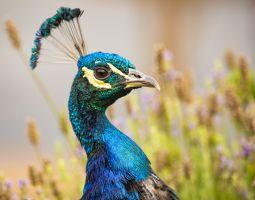 Peacock Head