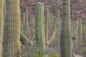 Cacti in the Saguaro National Park